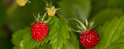 WILD FRUITS PLANTS ONLINE