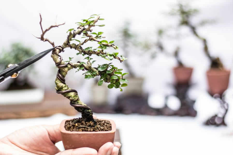 The magic world of bonsai