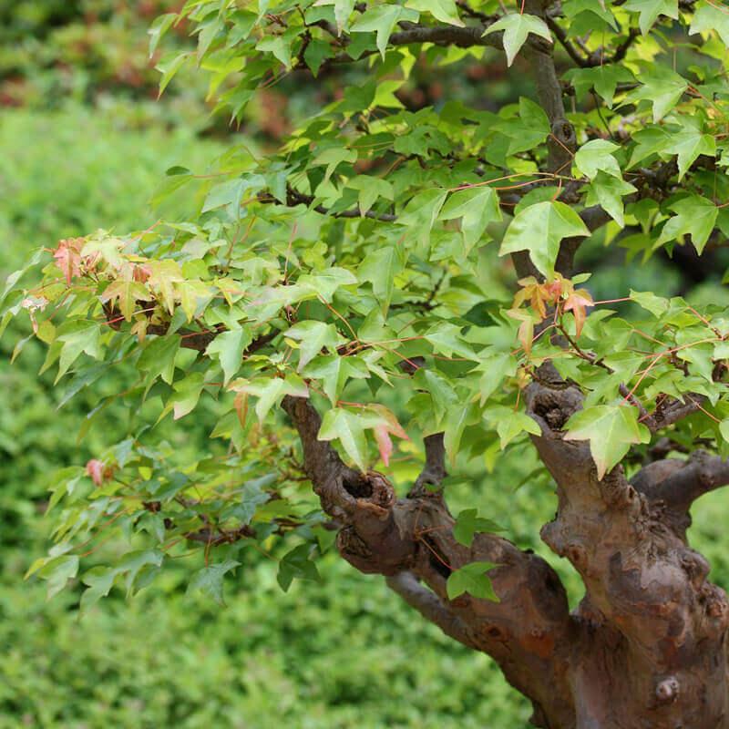 Semillas De Arce De Trident Acer Buergerianum Tog