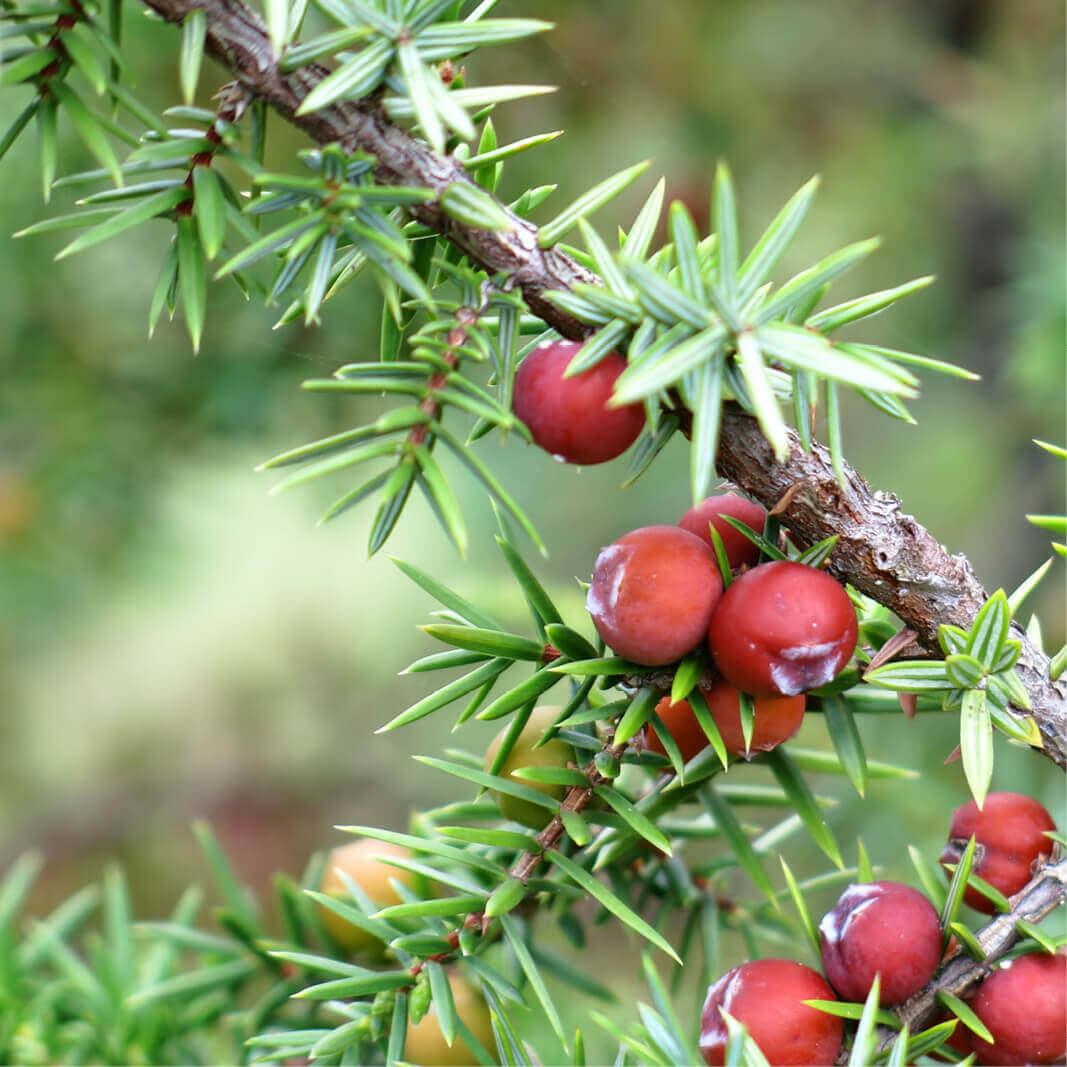 Plants Of Juniperus Oxycedrus Prickly Juniper T O G