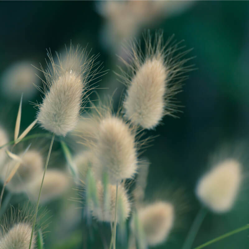 Seeds Of Lagurus Ovatus Hare S Tail Grass The Original