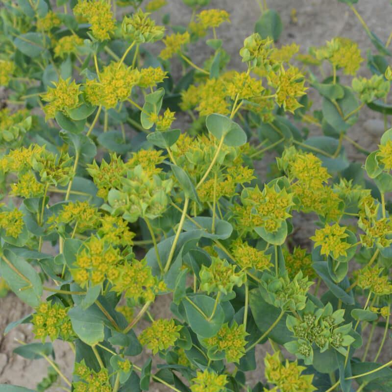 Seeds Of BUPLEURUM ROTUNDIFOLIUM Griffithii