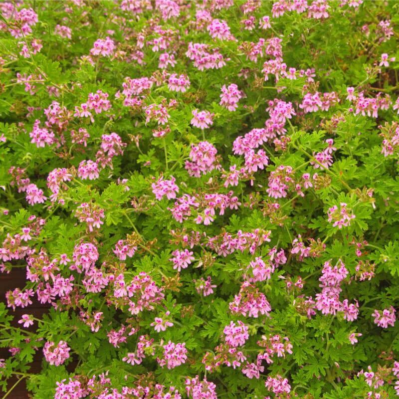 Plants Of Mosquito Free Pelargonium Pelargonium Graveolens T O G