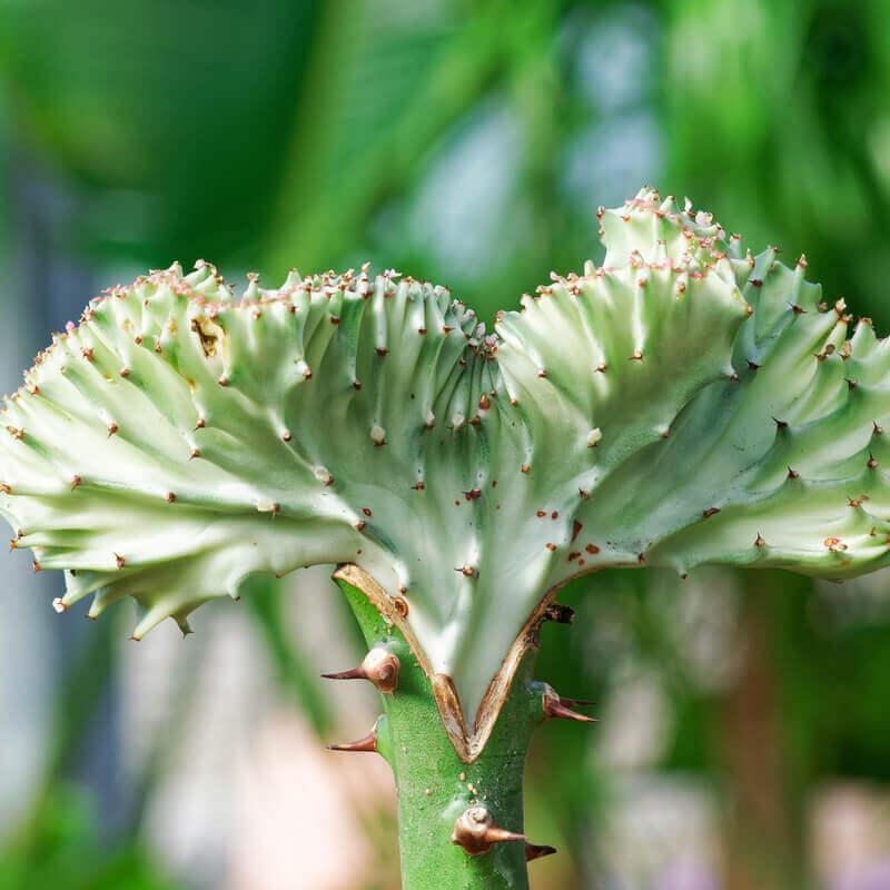 plants  crested elkhorn euphorbia lactea cristata tog