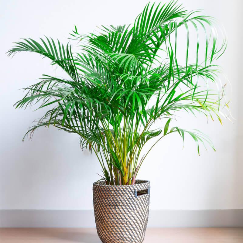 Plantas De Areca Palmera Amarilla Chrysalidocarpus