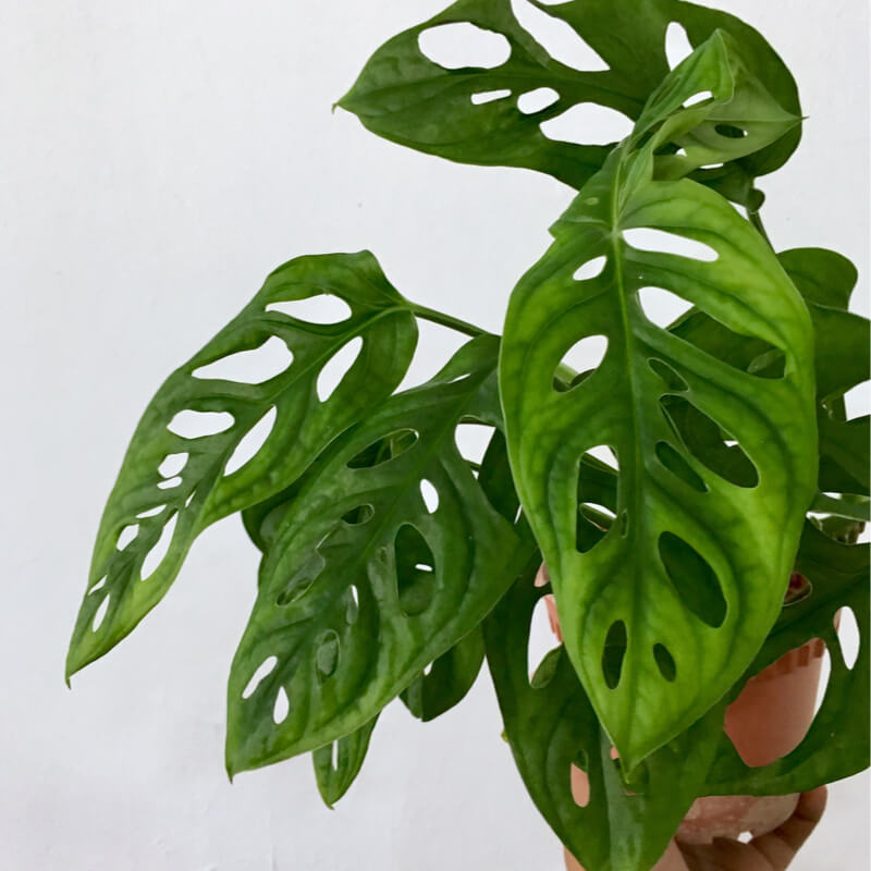 "Picture of Live Monstera Swiss Cheese Vine aka Monstera adansonii Plant Fit 4"" Pot"