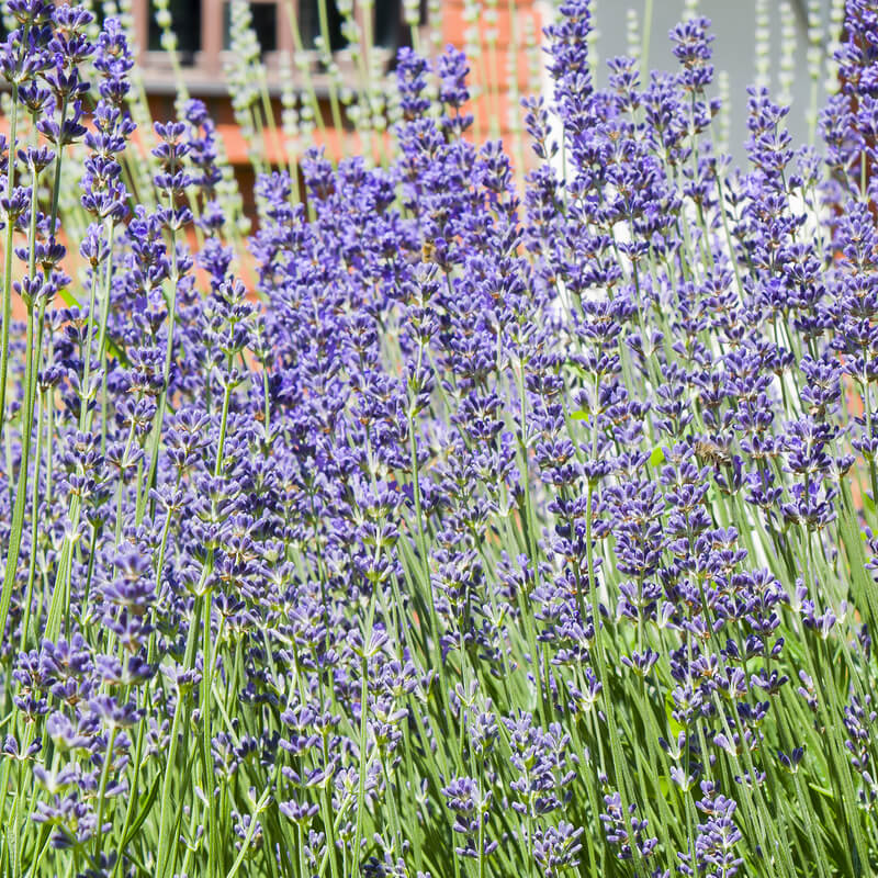 ENGLISH LAVENDER MUNSTEAD DWARF FLOWERS 200 SEEDS PACKET DATED 2020
