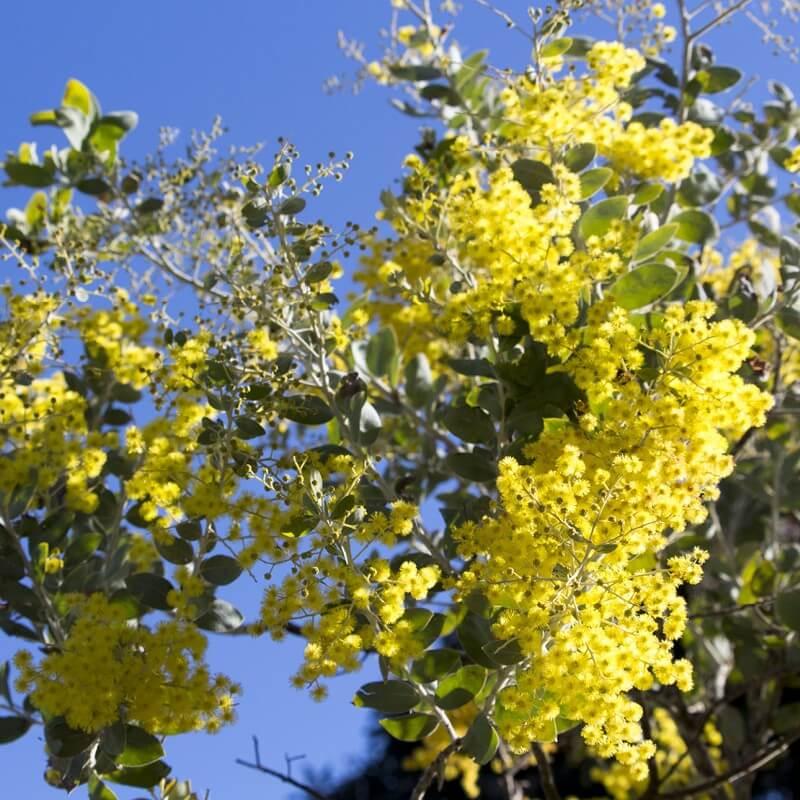 Graines De Mimosa De Bailey Acacia Baileyana Tog