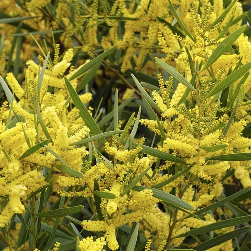 Seeds Of Acacia Longifolia Sydney Golden Wattle Tog