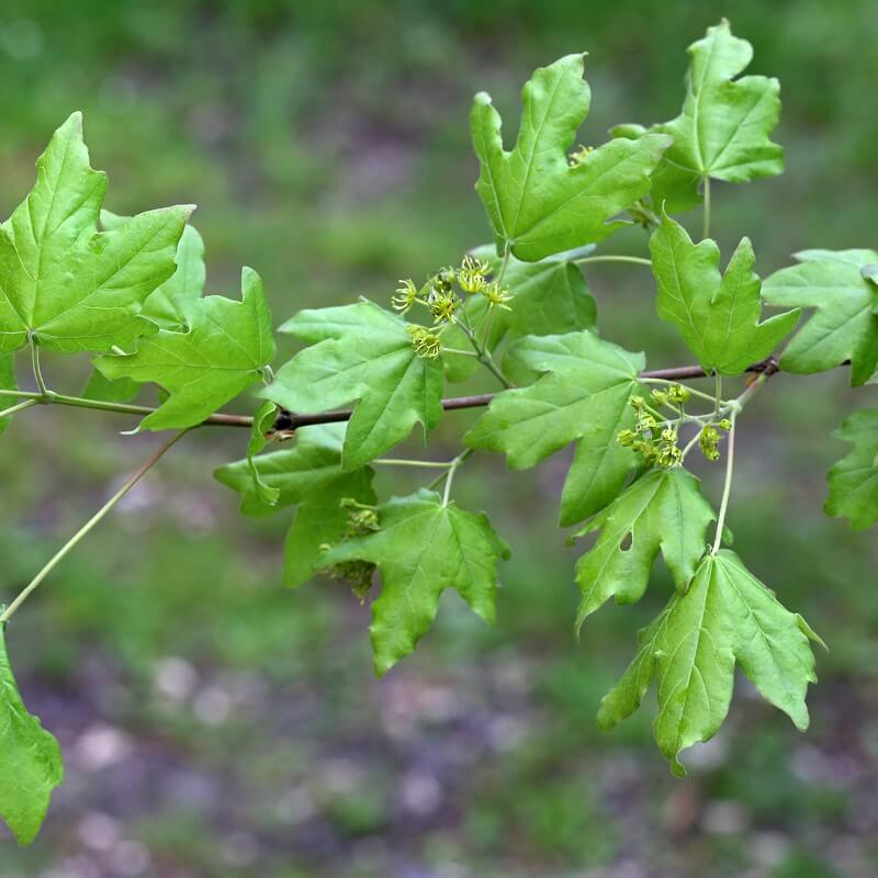Plants Of Acer Campestre Field Maple The Original Garden