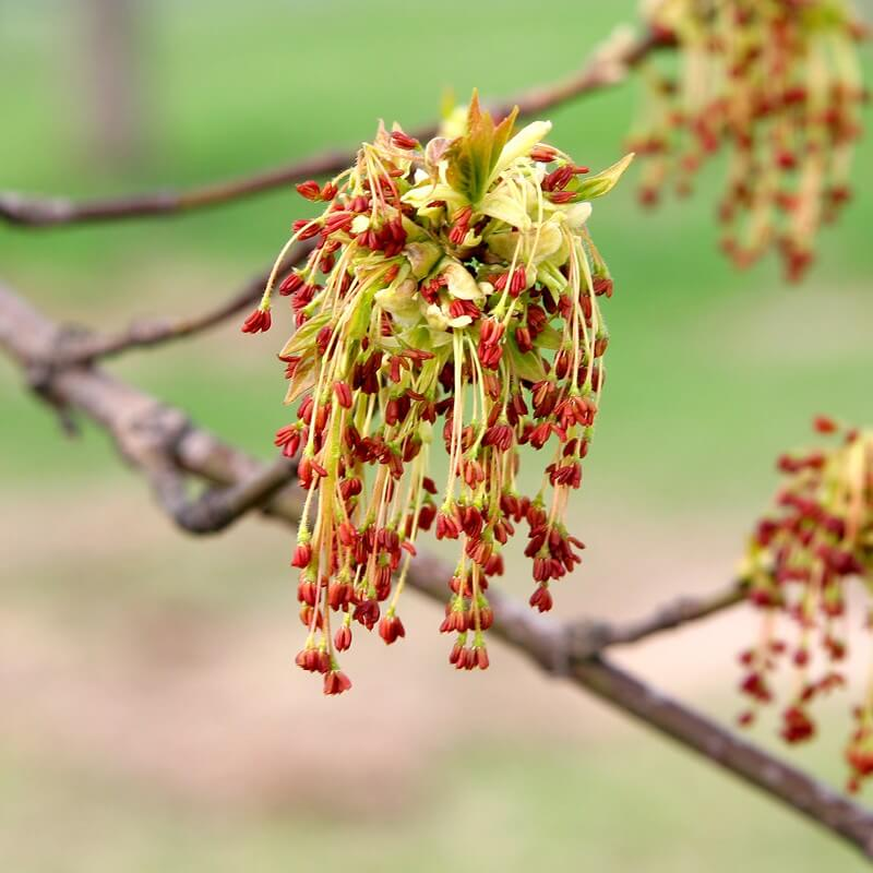 Seeds Of Acer Negundo Box Elder The Original Garden