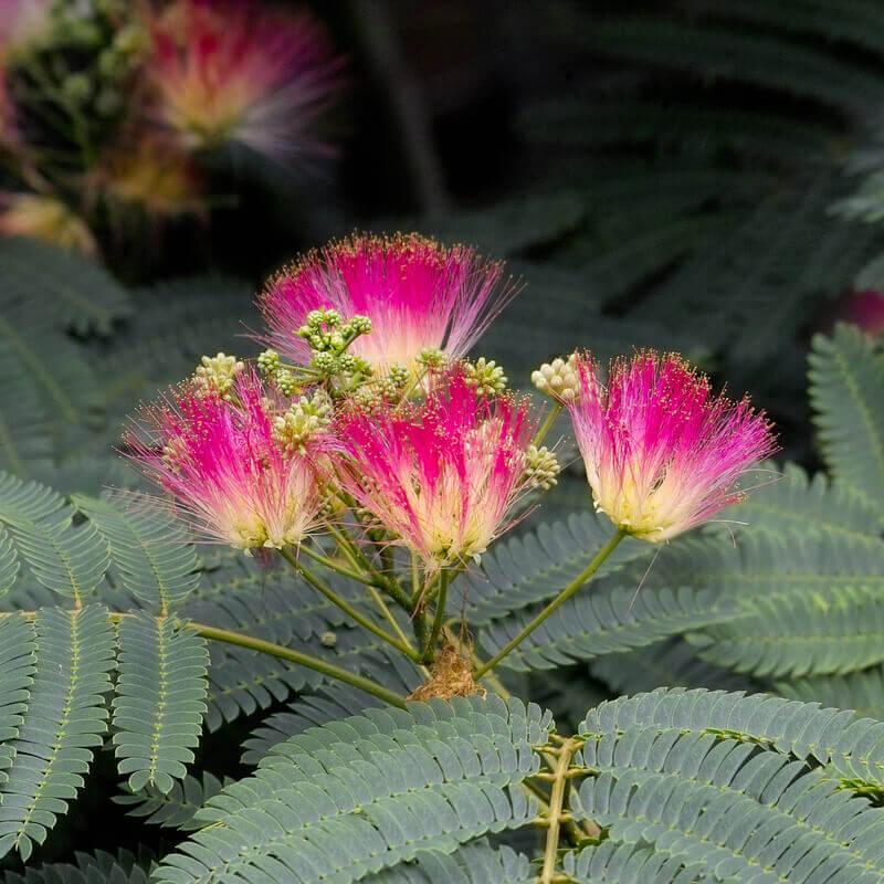 Albizia julibrissin rosea rosea persian silk tree green worlds albizia julibrissin rosea mightylinksfo