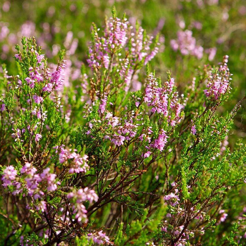 Beliebt Bevorzugt Plants of CALLUNA VULGARIS - Common Heather - The Original Garden #JK_75