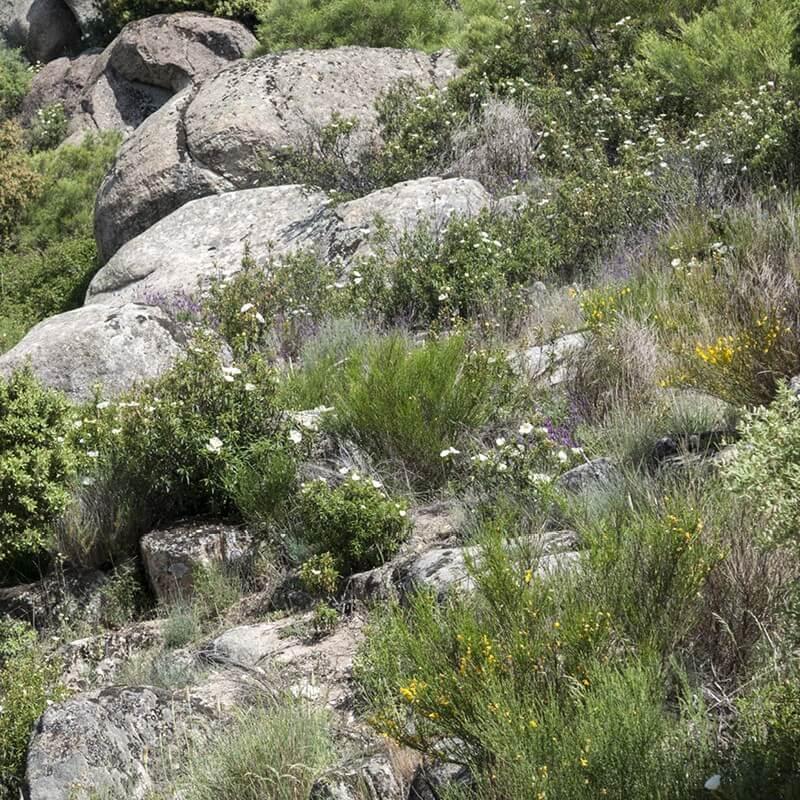 Cistus ladanifer ciste gomme plantes arbustes jardinerie garden center - Plante a la gomme ...
