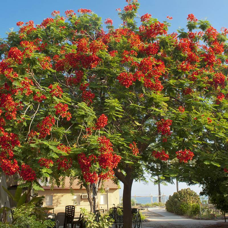 Plants Of Delonix Regia Royal Poinciana The Original Garden