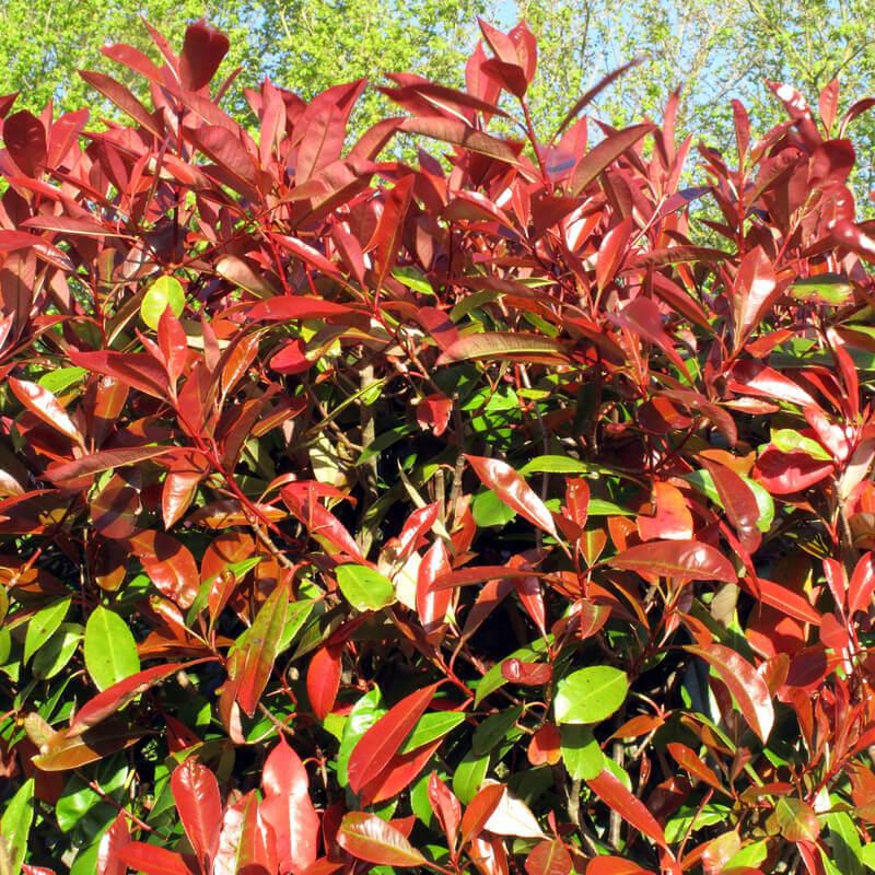 photinia x fraseri red robin photinia red robin. Black Bedroom Furniture Sets. Home Design Ideas