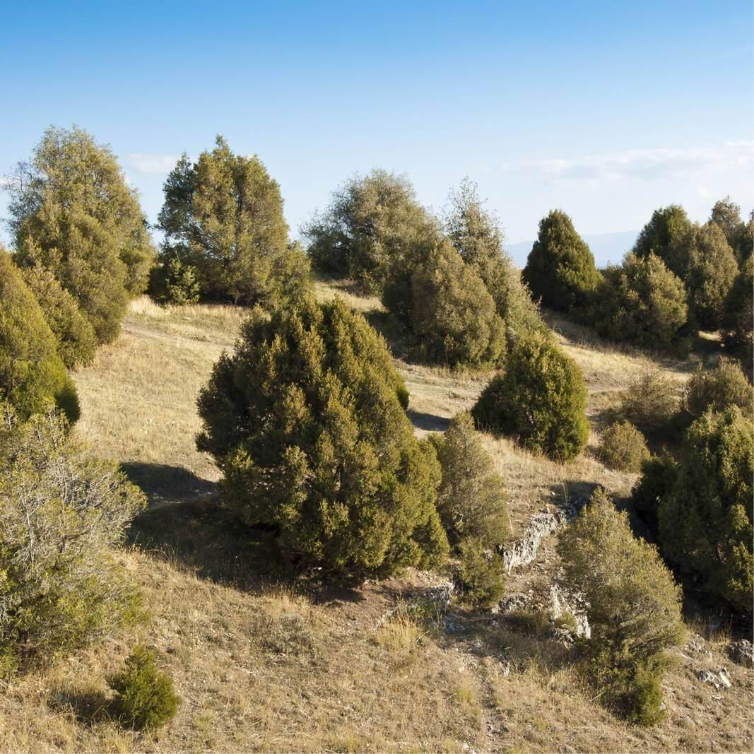 juniperus thurifera spanish juniper - Plants Conifers - Garden ...