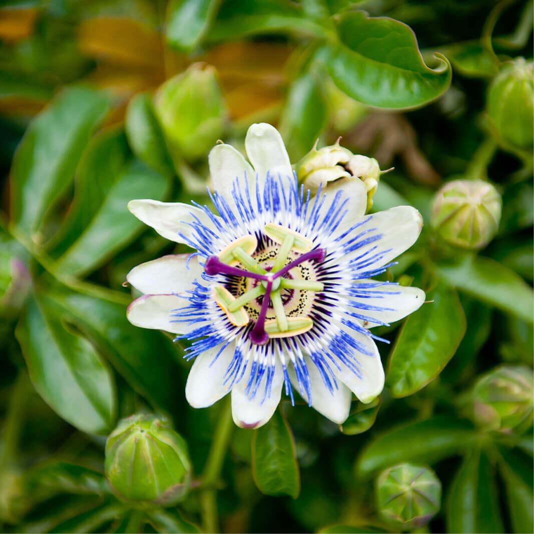 Buy Seeds Passiflora Caerulea Blue Passion Flower Annual Plants