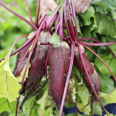 BEETROOT 'Cylindra'