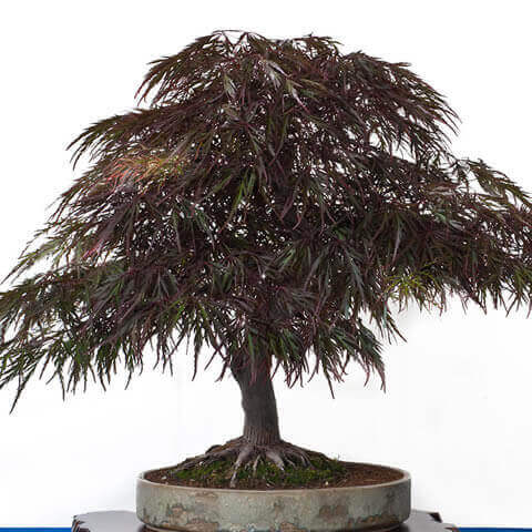 ACER PALMATUM ATROPURPUREUM - Red Japanese Maple