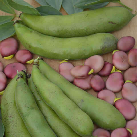 BROAD BEAN 'Karmazyn'