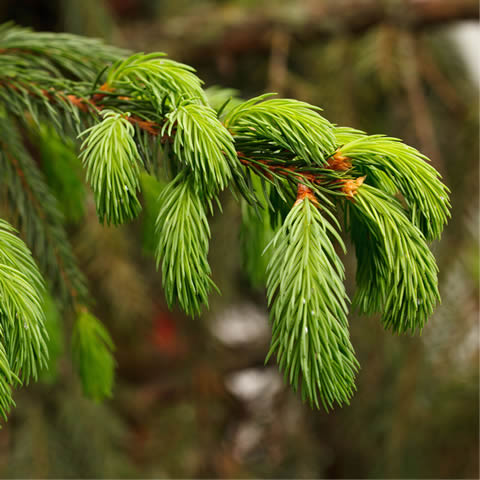 PICEA ORIENTALIS - Norway spruce, White Fir