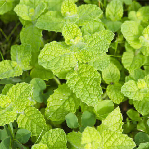 MENTHA ROTUNDIFOLIA - Apple Mint, Round-Leaved Mint