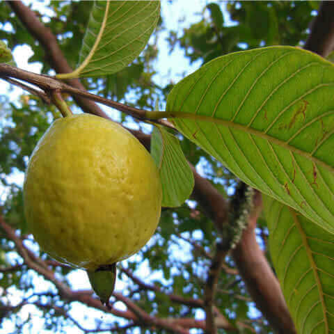 PSIDIUM GUAJAVA - Common Guava