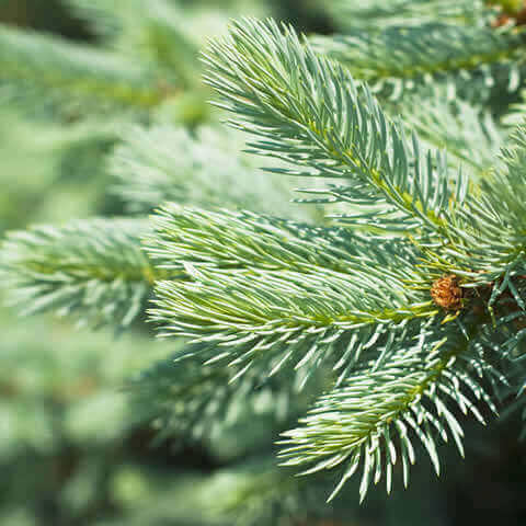 ABIES ALBA - Silver Fir - AAL 402 Massif Central Est (Selected)