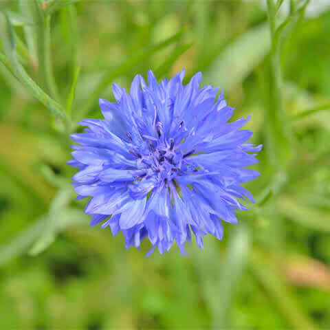 CENTAUREA CYANUS Blue Ball - Cornflower