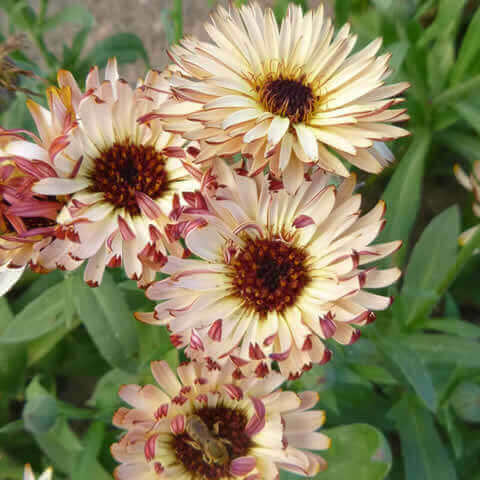 CALENDULA OFFICINALIS Touch Of Red Buff - Pot Marigold