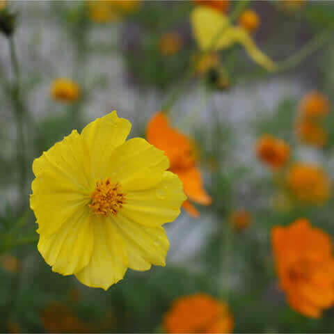 COSMOS SULPHUREUS Sunny mixture - Mexican Aster