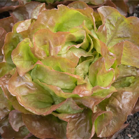 BUTTERHEAD LETTUCE 'Marvel of Four Seasons'