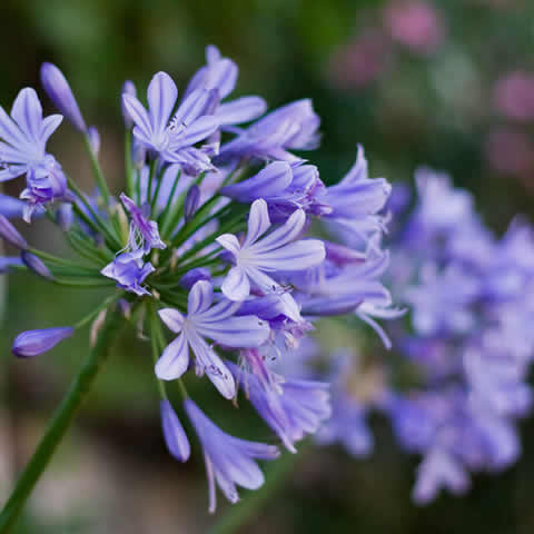 AGAPANTHUS AFRICANUS 'Streamline' - Dwarf African Lily