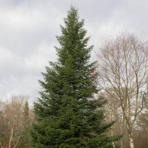 ABIES GRANDIS - Grand Fir