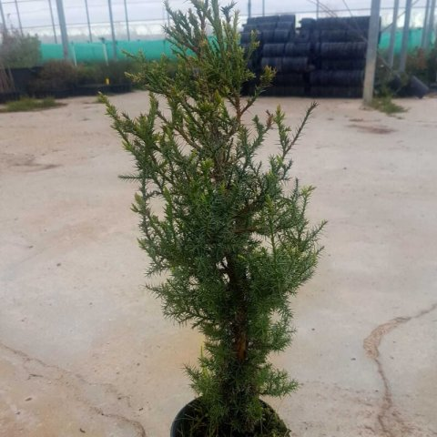 JUNIPERUS THURIFERA - Spanish Juniper