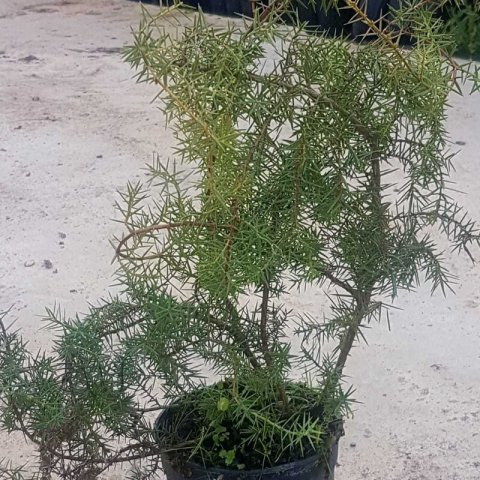JUNIPERUS OXYCEDRUS - Prickly Juniper