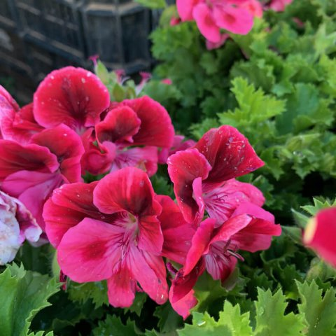 PELARGONIUM GRANDIFLORUM Candy Flower - Geranium Candy Flower