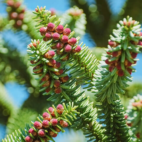 ABIES PINSAPO - Spanish Fir