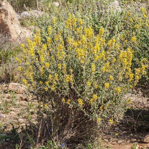 ANTHYLLIS CYTISOIDES - Kidneyvetch
