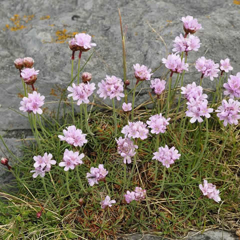 ARMERIA LAUCHEANA maritima splendens - Sea thrift, Marsh Daisy
