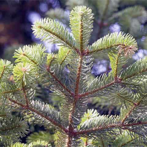 ABIES CEPHALONICA - Greek Fir - ACE VG-01 Saint Lambert (Qualified)
