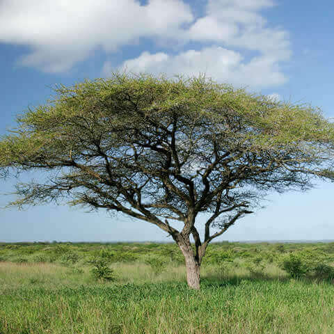 ACACIA TORTILIS - Umbrella Thorn