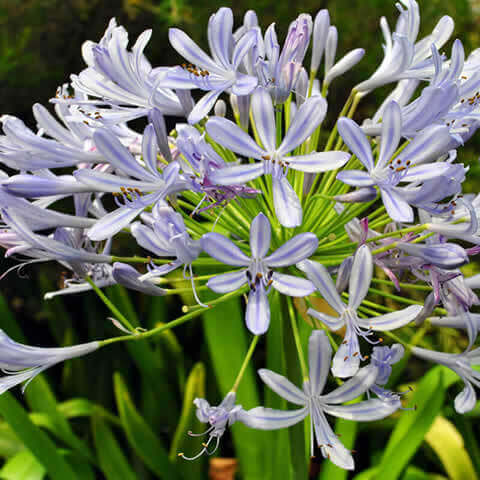 AGAPANTHUS Peter Pan - Dwarf Lily of the Nile