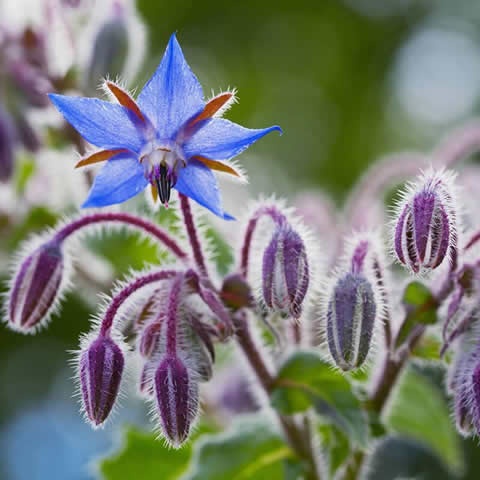 BORAGO OFFICINALIS - Common Borage