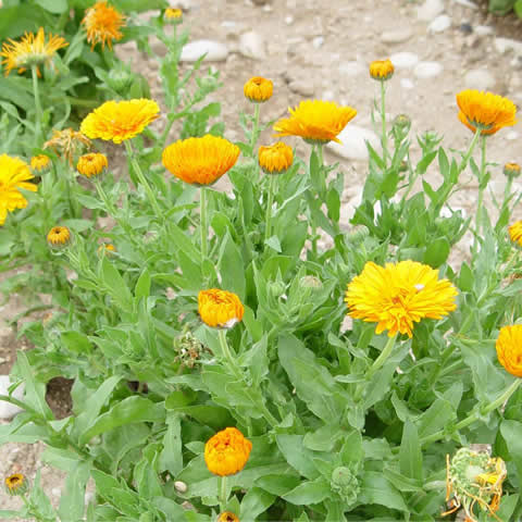 CALENDULA OFFICINALIS Pacific Beauty - Pot Marigold
