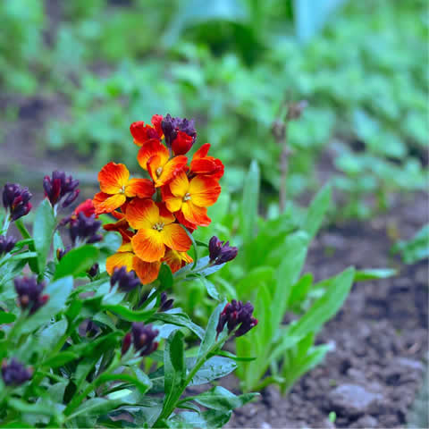 CHEIRANTHUS CHEIRII Tom Thumb - Dwarf Wallflower