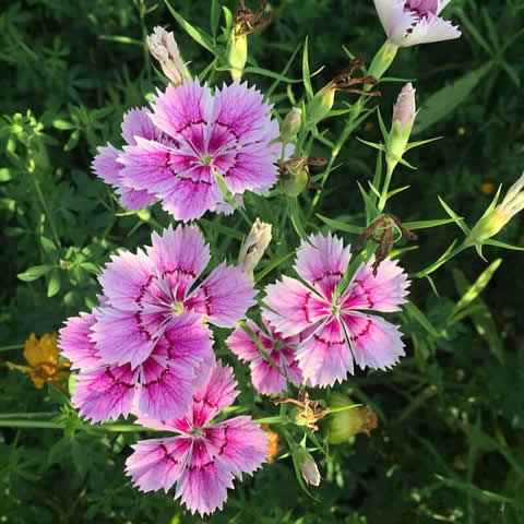 DIANTHUS CHINENSIS - China Pink, Indian Pink