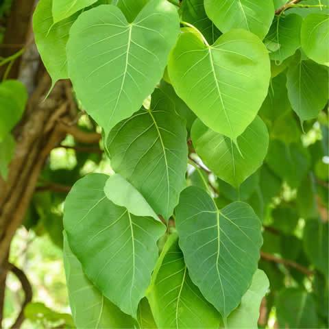 Seeds Of Ficus Religiosa Sacred Fig Tree The Original