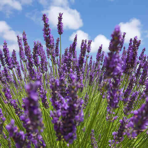 LAVANDULA LATIFOLIA - Broad-leaved lavender